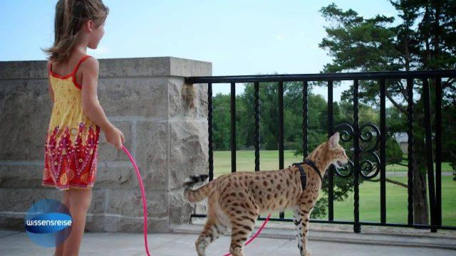 Bild Geschichte - Leopardenkatze