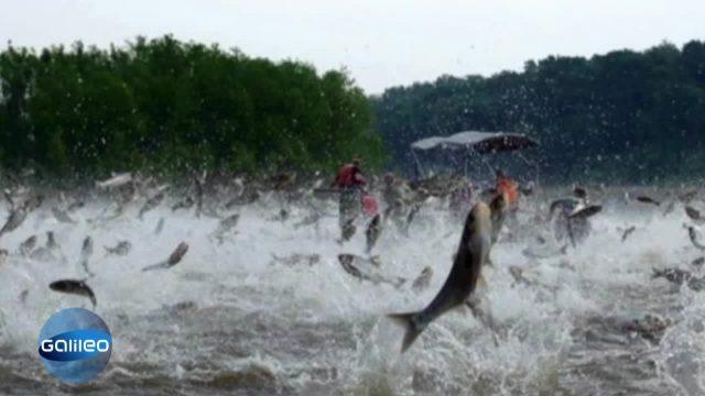 Bild Geschichte - springende Fische