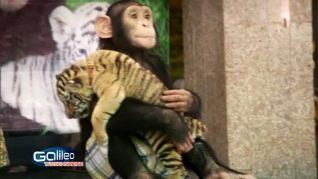 Bildgeschichte: Affe adoptiert Tiger