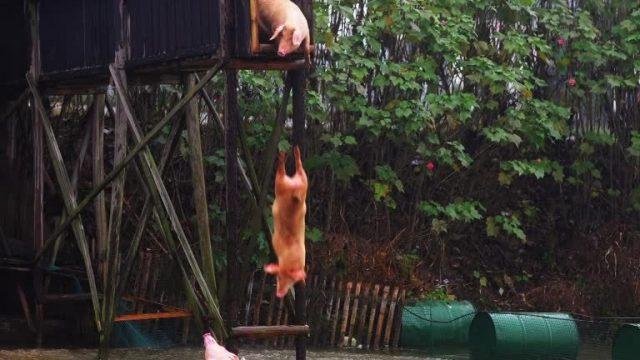 Bildgeschichte: Turmspringende Schweine