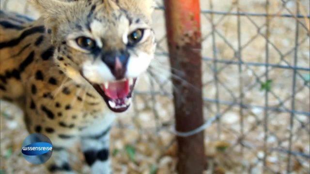 Leopardenkatze
