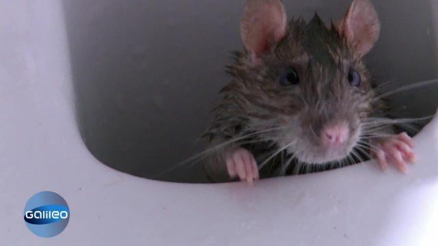 Ratten im Rohr