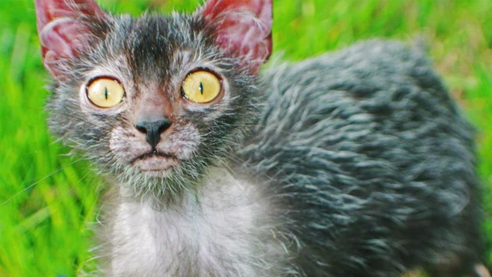 Werwolf Katze