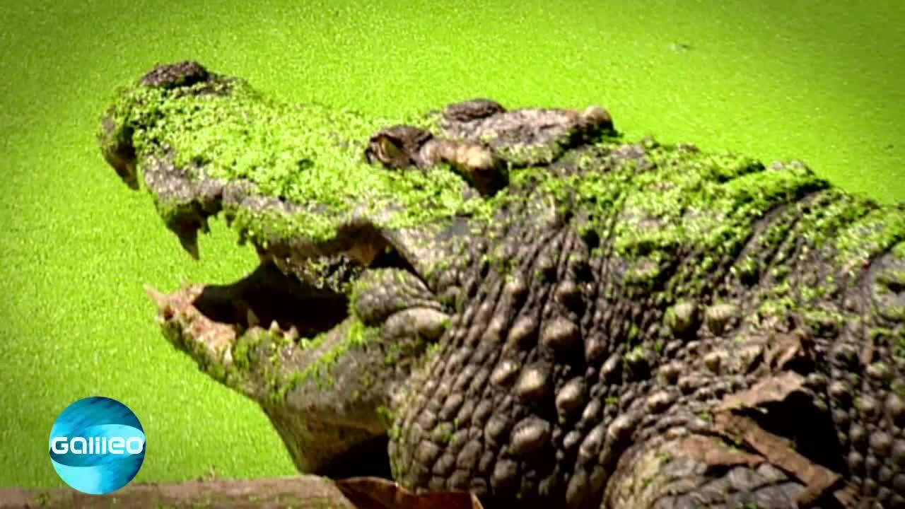 Wissensticker - Agile Krokodile