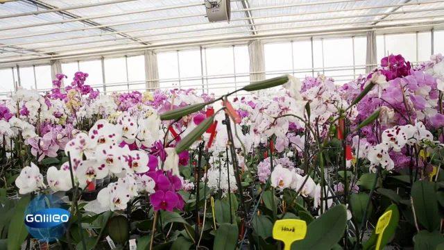 Teuer vs. Billigblume: Der Weg der Orchidee