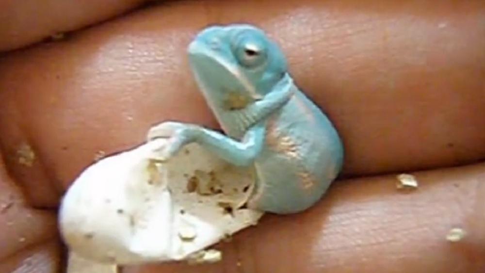Hier schlüpft gerade ein Baby-Chamäleon und macht seine ersten ...: http://www.galileo.tv/earth-nature/hier-schluepft-gerade-ein-baby-chamaeleon-und-macht-seine-ersten-schritte/