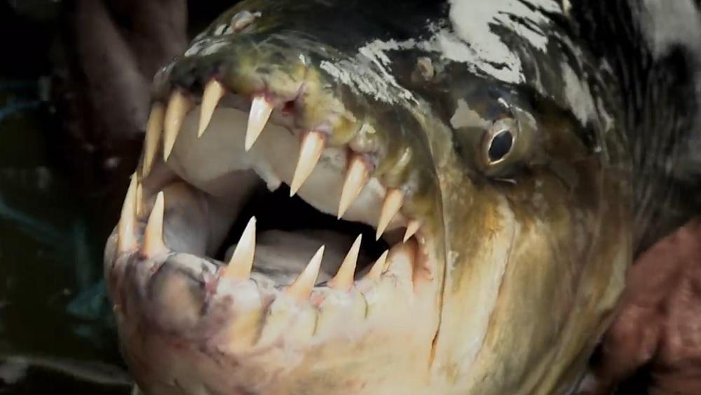 Ein unheimlicher Fang: der Goliath-Tigerfisch