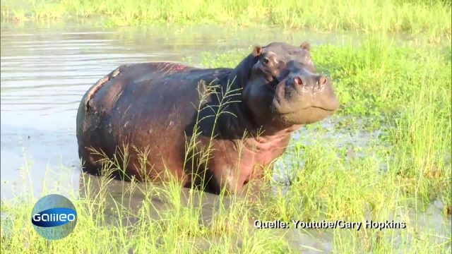 Hilfsbereite Hippos