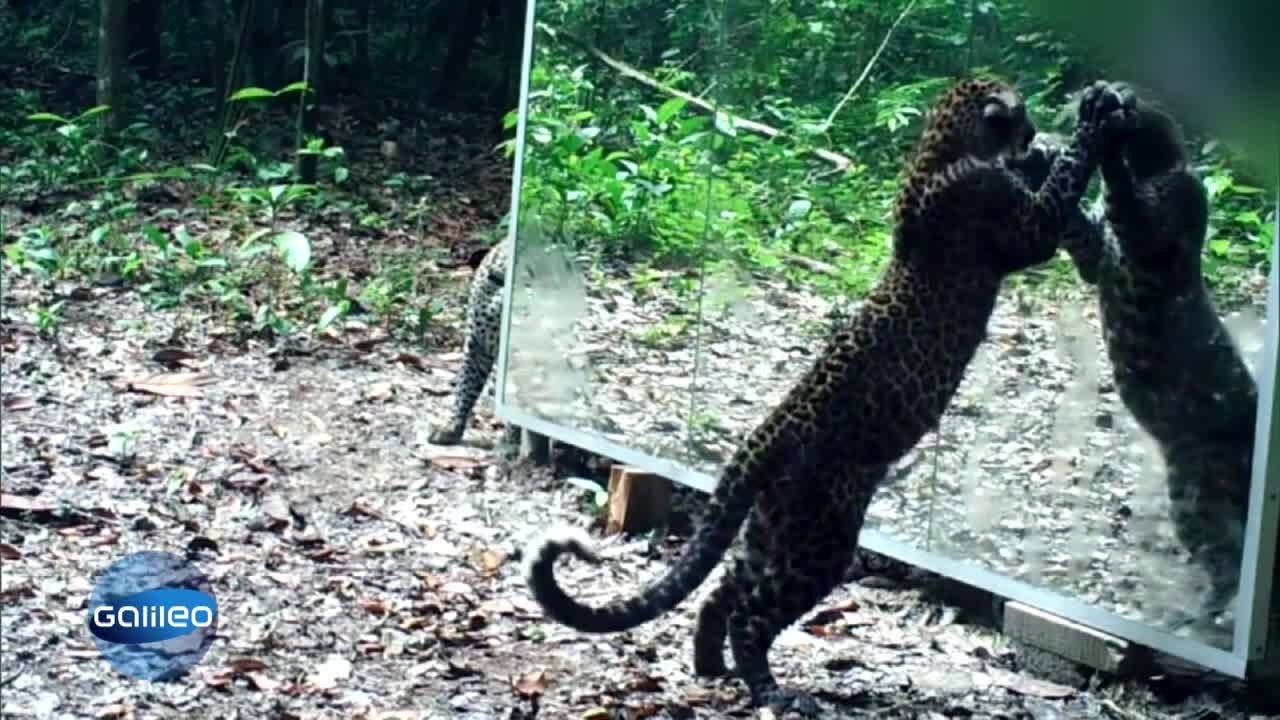 So reagieren tiere auf ihr spiegelbild for Spiegel tv app