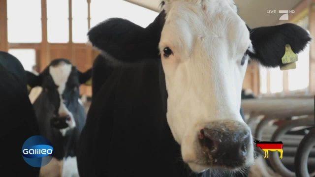 Kühe in Indien und Deutschland