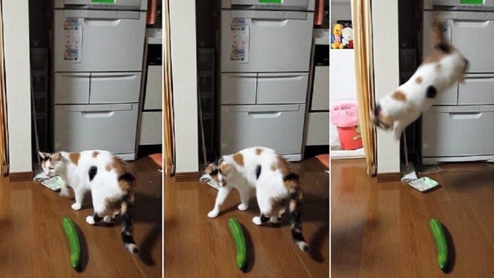 Katzen Gurken Video