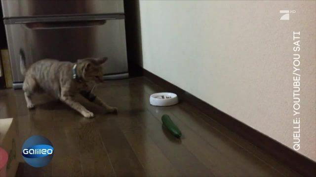 Katzen und ihre Furcht vor Gurken