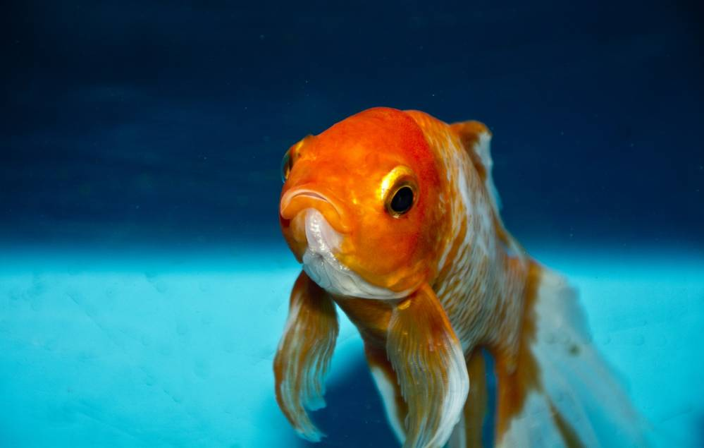 Goldfisch Verliert Farbe