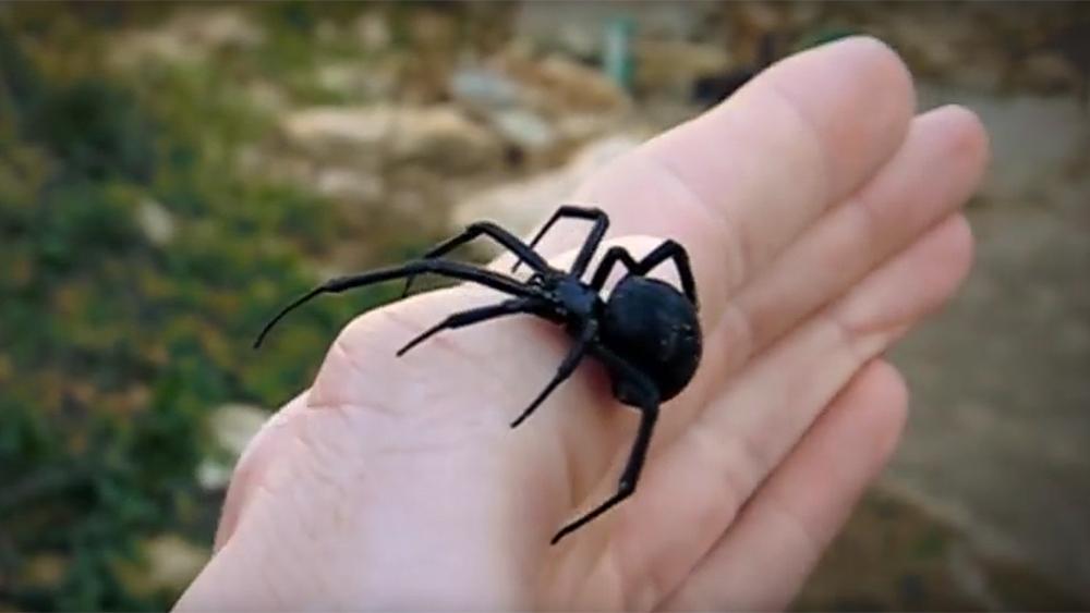 Schwarze Witwe im Aquarium: Schneller Sex, schnell weglaufen ...