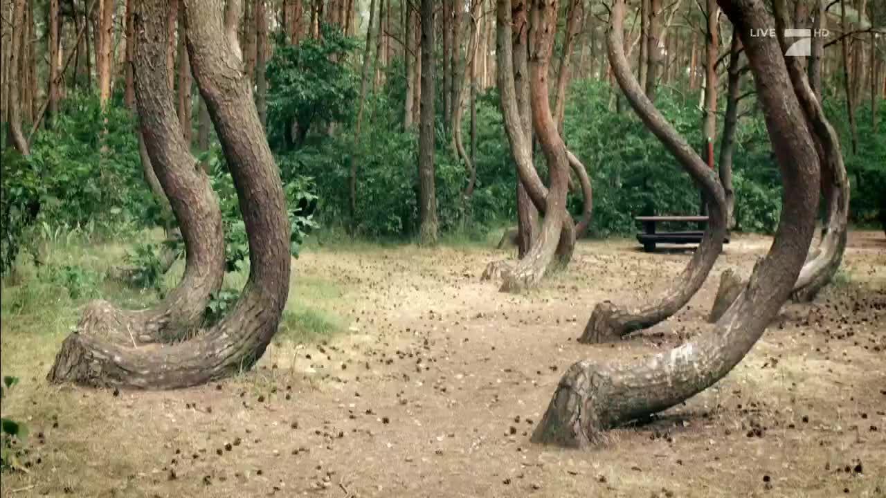 Wald aus krummen Kiefern