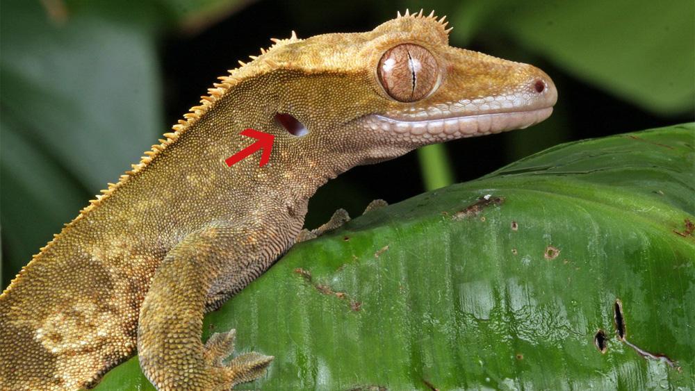 Schon mal einem Gecko ins Ohr geleuchtet?