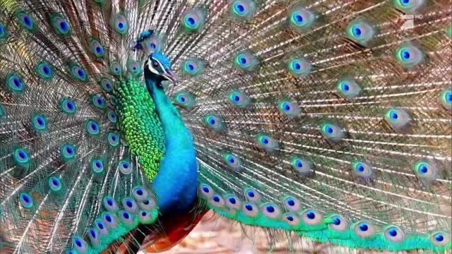 Die kreativen Flirtrituale der Tierwelt