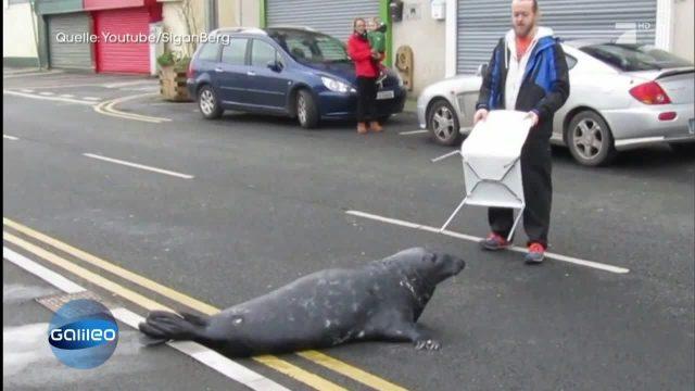 Dieser clevere Seehund hat seinen eigenen Futterlieferanten gefunden