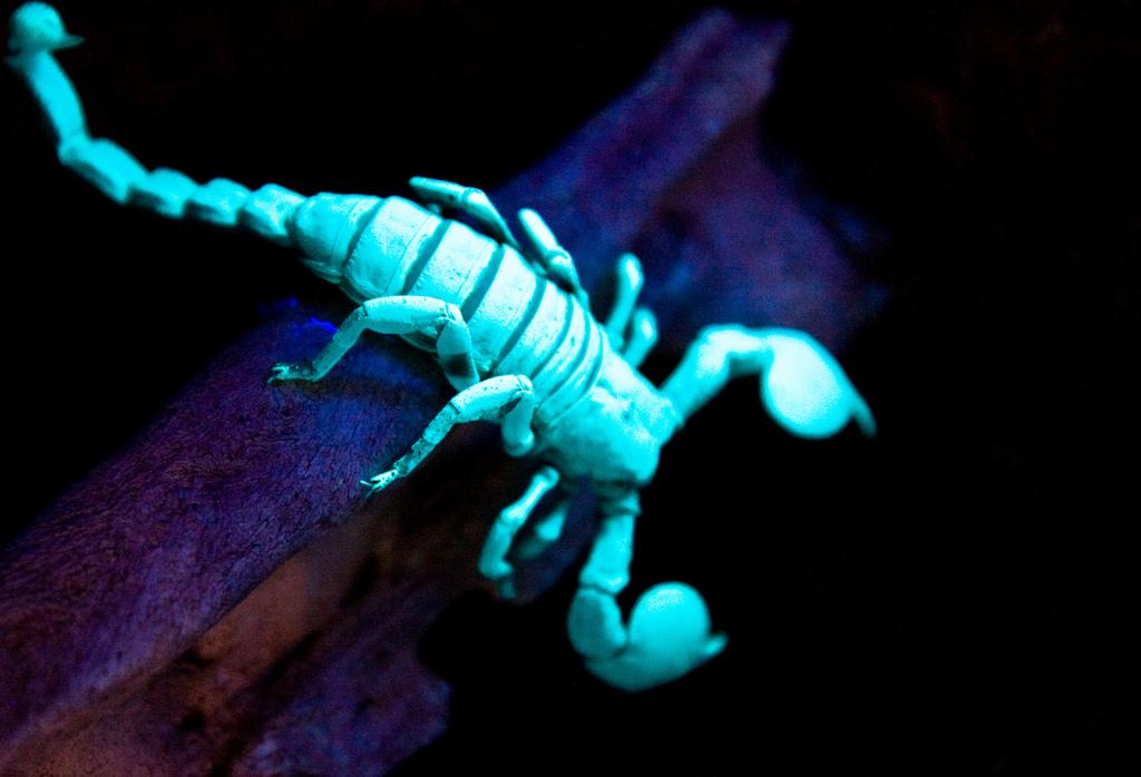warum leuchten skorpione im dunkeln. Black Bedroom Furniture Sets. Home Design Ideas