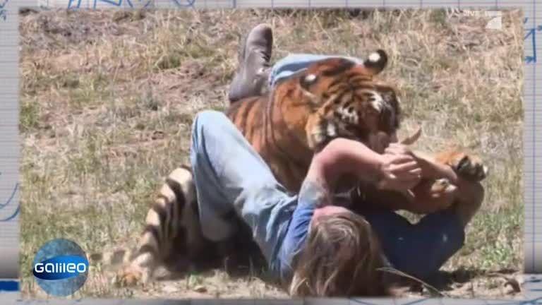 Clip Science: Tiger greift Mann an