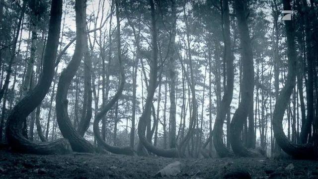 In diesem Wald wachsen alle Bäume krumm