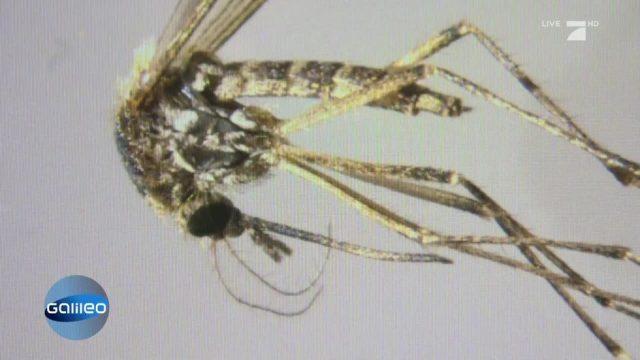 Mückenplage in Deutschland