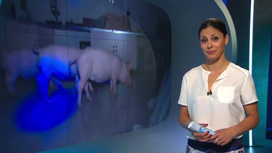 Montag: Bild Geschichte - leuchtende Schweine