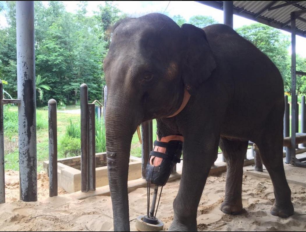 das ist der erste elefant mit einer beinprothese. Black Bedroom Furniture Sets. Home Design Ideas