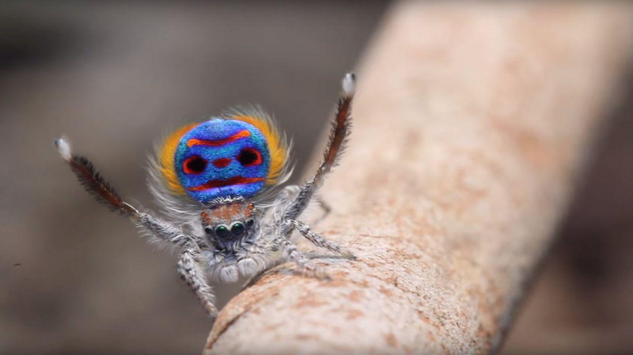 Diese Spinne Vollf 252 Hrt Einen Unglaublich Lustigen Balztanz