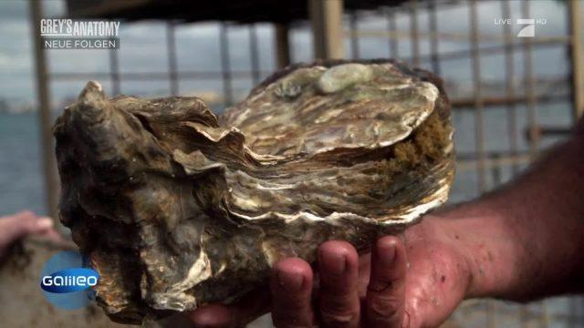 Zu Besuch auf der XXL-Austern-Farm