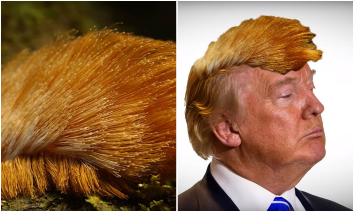 Haarige Raupe Erinnert An Donald Trumps Frisur