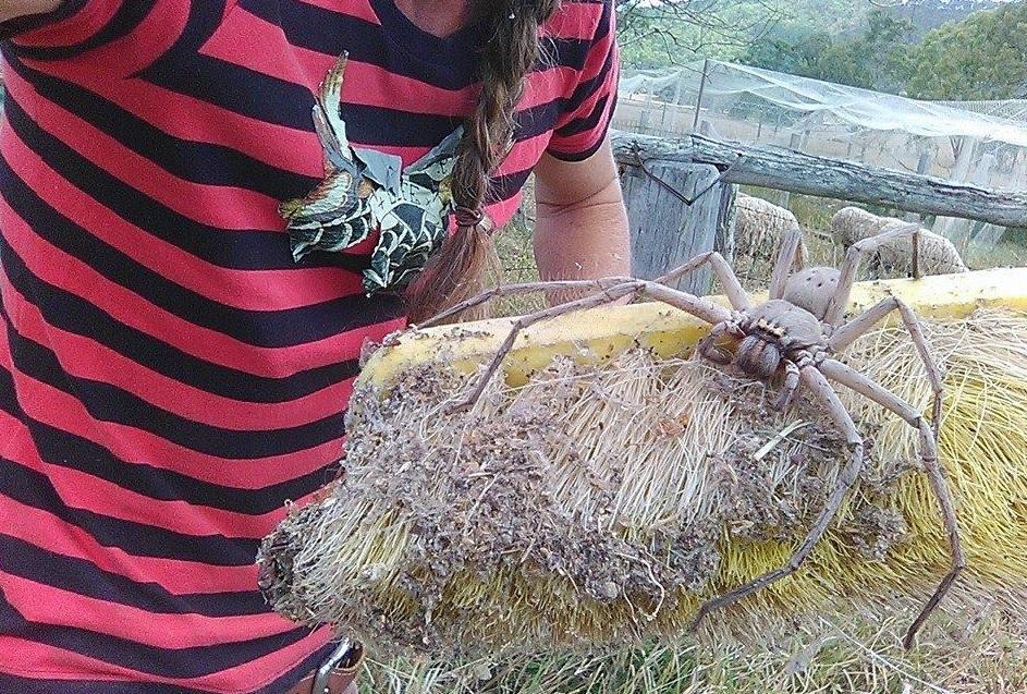 Australische Riesenspinne