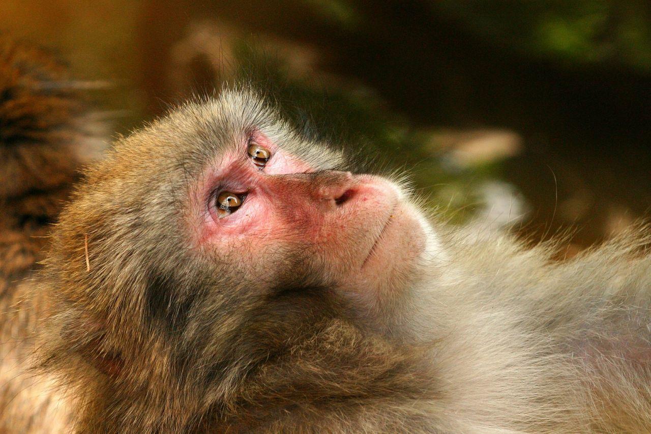 Verführerisch Haustier Affe Ideen Von So Würden Sich Affen Anhören, Wenn Sie