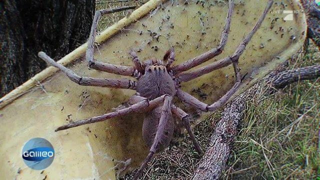 Suche nach der größten Spinne der Welt