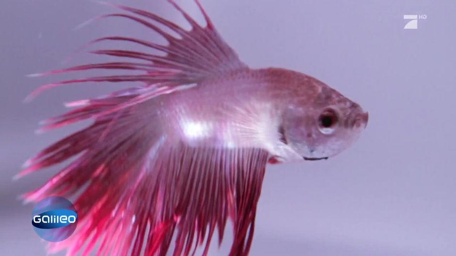 Verrückte Tradition: Wettkampf der thailändischen Feuerfische