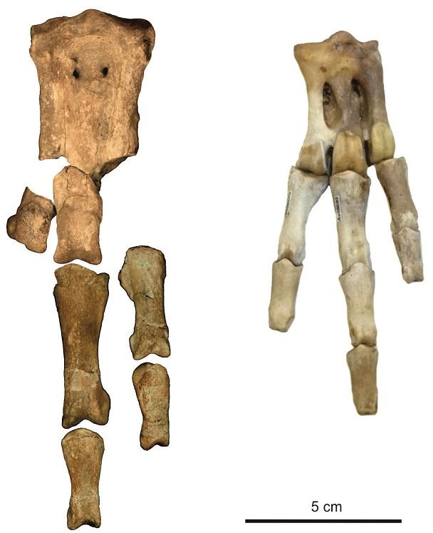 Größter Knochen Des Menschen