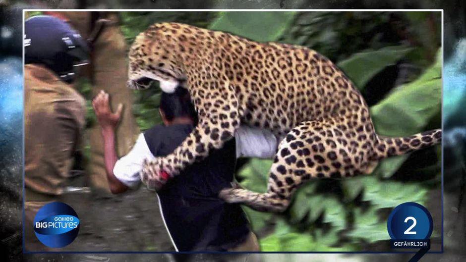 Gef 228 Hrliche Attacke Leopard Greift Menschen An