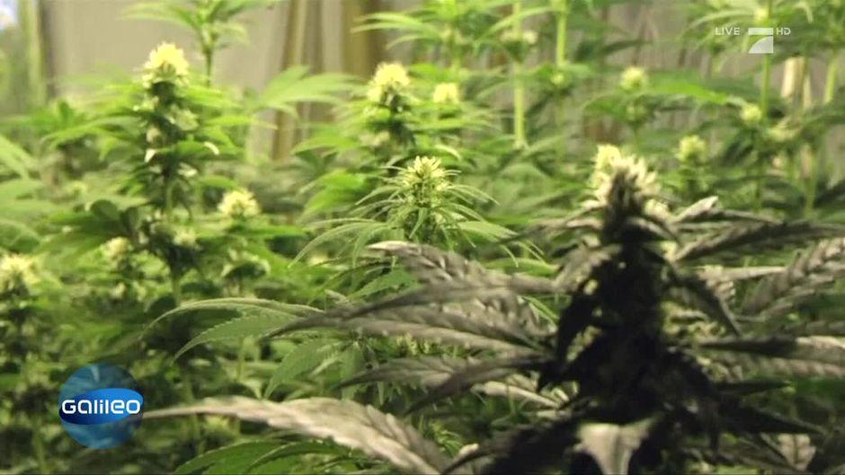 Neues Gesetz Medizinisches Cannabis Auf Rezept