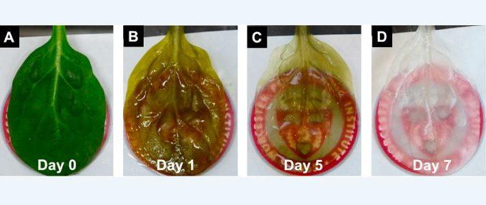 Forscher haben auf Spinatblättern menschliches Herzgewebe erzeugt