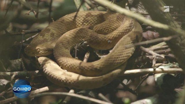 Die Schlangeninsel in Brasilien
