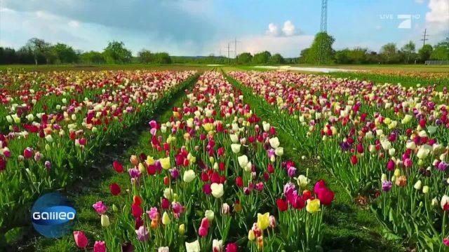 Der Blumenfeld-König