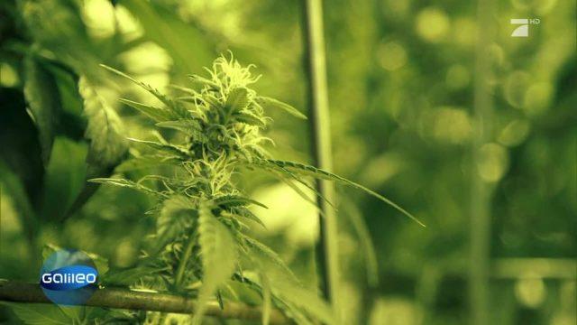 Die legalen Cannabisprodukte der Schweiz