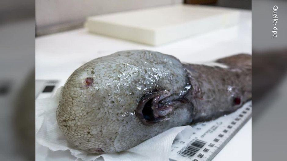 fisch ohne gesicht diese kreatur aus der tiefsee haben forscher entdeckt. Black Bedroom Furniture Sets. Home Design Ideas