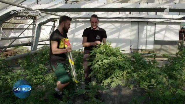 Cannabisblüten ernten - ist das legal?