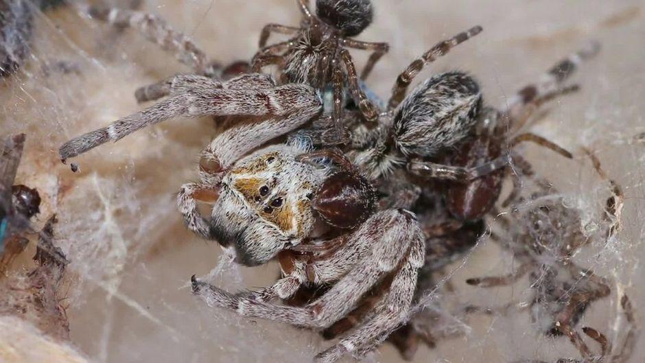 Wie eklig! Diese Spinnenbabies essen Ihre Mutter auf