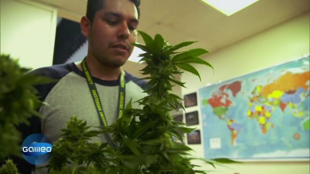 Cannabis als Studiengang - das lernt man dabei!