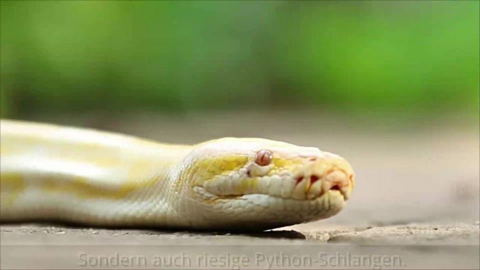 5 Meter lang! Polizisten entdecken diese Monster-Python