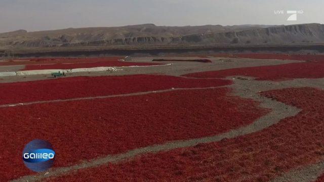 Chilischoten in der Steinwüste