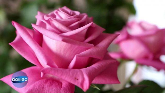 Die teuerste Rose der Welt