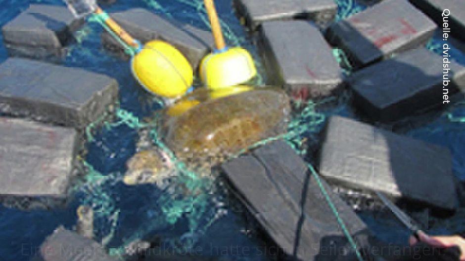 Im Pazifik wurde eine Schildkröte mit 800 Kilogramm Kokain im Wert von 53 Millionen USD im Gepäck gefunden